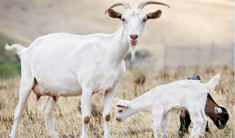 Directaid  Al-Sanabel Project - Goat Production-3 1